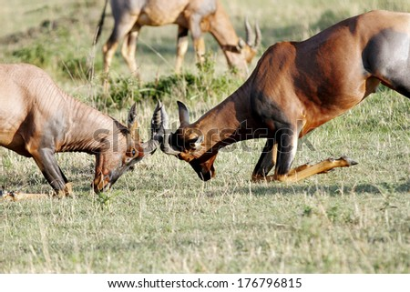 A fight between two beautiful Topi antelopes - stock photo