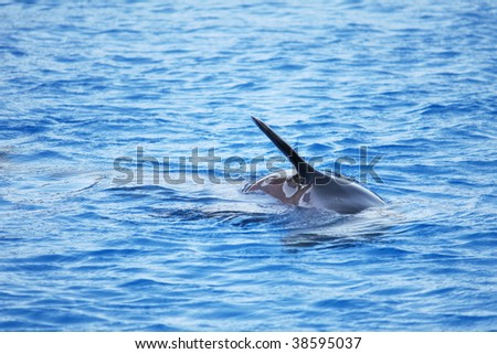 a fin of a dolphin swimming in the deep blue sea - stock photo