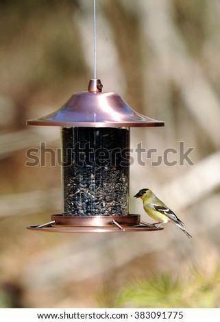 A finch on the bird feeder. - stock photo