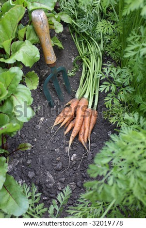 A first crop of organically grown carrots set amongst other growing carrots and beetroot in a small urban garden, with a small hand held garden fork. - stock photo