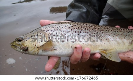 A fisherman holds a Brown Trout they just caught on a dry fly on River Philip, Nova Scotia.
