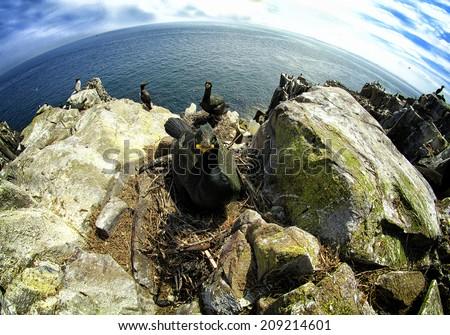 A Fisheye perspective of a European Shag (phalacrocorax aristotelis) on nest. Image taken on the cliff top Inner Farne Island in Northumberland, UK. - stock photo