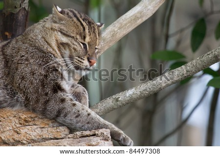 a Fishing Cat, native to asia, relaxes on a rocky perch.