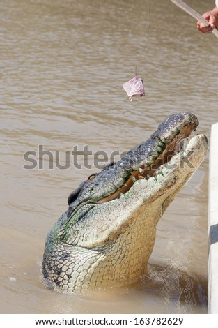 A five meter very old crocodile aggressively  snapping at bait and snapping a tooth in the process at the Adelaide river Northern Territory Australia. - stock photo