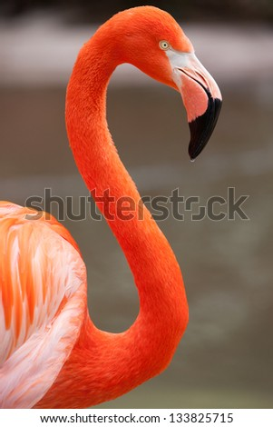 A flamingo observes its surroundings in San Diego, California, USA