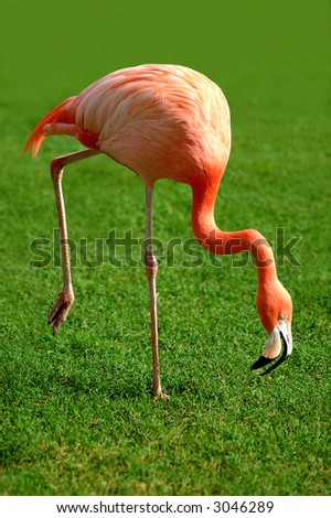 A flamingo stooping while walking looking for food - stock photo