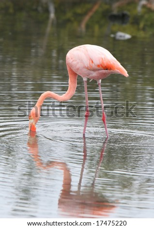 A flamingo with his head in the water searches for food - stock photo