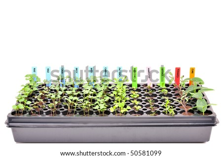 A flat of young seedlings. Isolated with clipping path. 24MP camera. - stock photo