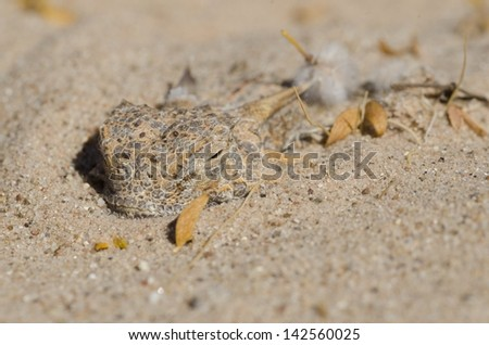 A flat-tailed horned lizard still sleeping in the morning.  They sleep by burying themselves in the sand.