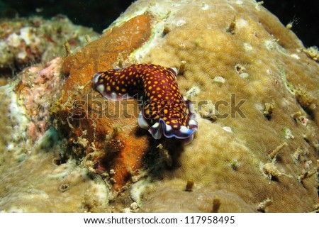 A flatworm (Pseudobiceros lindae), quite similar to a nudibranch, is also a  type of sea slug known for its colorful body. - stock photo