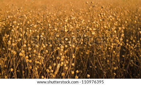 A flax field ready for harvest lit by the late afternoon sun - stock photo