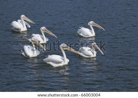 A fleet of a pelican advances. - stock photo