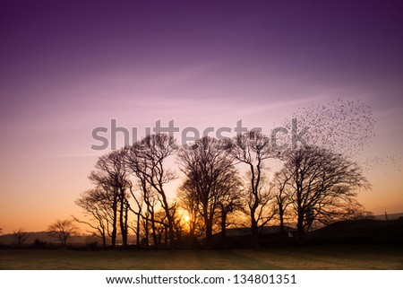 A flick of starlings flying out of trees at sunset Isle of Anglesey