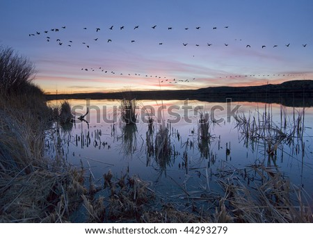 A flight of geese at Bosque del Apache in New Mexico - stock photo