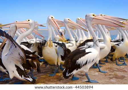 A flock of Australian pelicans against a blue sky. - stock photo