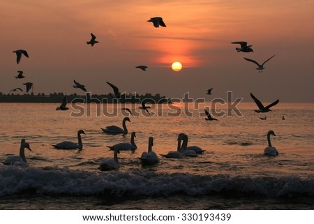 A Flock of Birds at sunrise in a lake, swans and gulls - stock photo