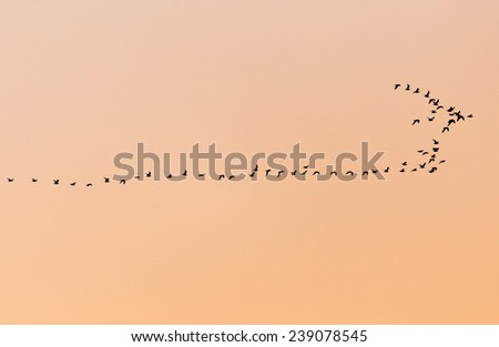 a flock of birds at sunset - stock photo