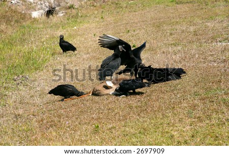 A flock of black vultures feeding on a dead white-tail deer. PHOTO ID: Vultures00033a - stock photo