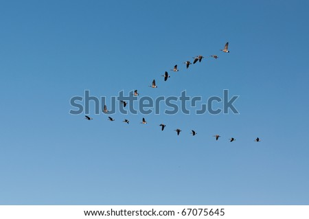 A flock of Canada Geese (Branta canadensis) flies in V-formation. - stock photo