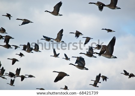 A flock of Canada Geese (Branta canadensis) in flight. - stock photo