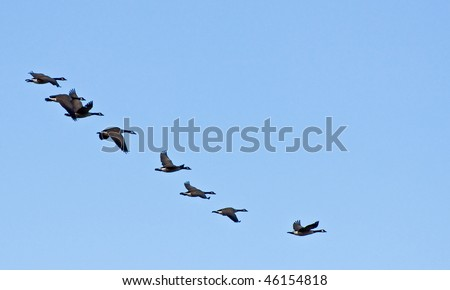 A flock of canada geese fly in a line formation against blue sky - stock photo