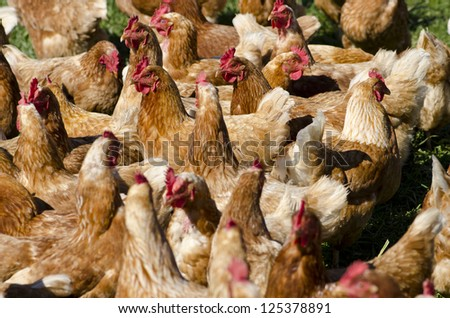 A flock of chickens at an egg farm