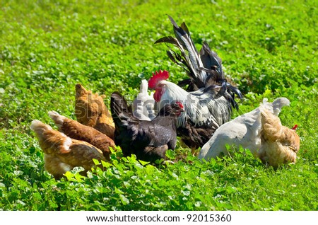 A flock of chickens walking on a green meadow. - stock photo