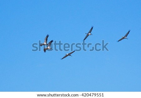 A flock of common cranes (Grus grus) flying in the blue sky.