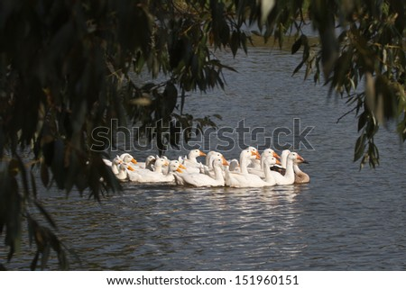 a flock of domestic white geese swimming on the river - stock photo