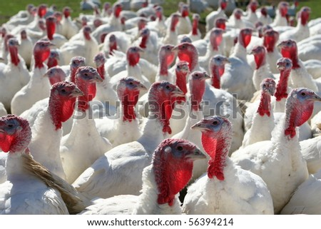 a flock of farm turkeys with one appearing to buck the crowds direction - stock photo