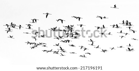 A flock of flamingos flying over the coast of the ocean in Namibia (black and white) - stock photo