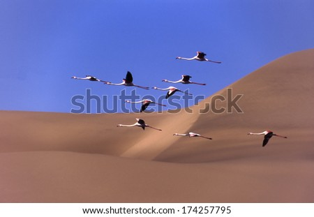 a flock of flamingos flying over the dunes sandwich harbour - stock photo