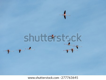 A flock of flamingos flying over the protected marshes of the Parc Regional de Camargue - Provence, France