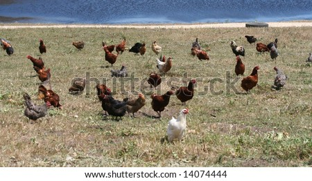 A flock of free range chickens in the grass by a lake - stock photo