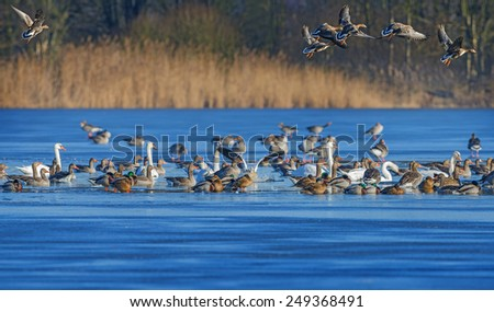 a flock of geese (Anser albifrons and Anser anser) on a pond - stock photo