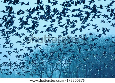 A flock of geese takes off, The Netherlands - stock photo