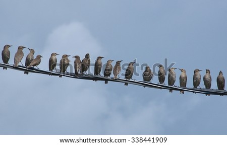 A flock of juv Starling (Sturnus) on the wire.