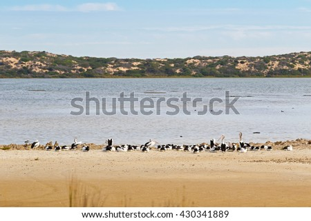 A flock of large Australian Pelican water birds with pale pink bill resting on the beach close to sand dune Younghusband Peninsula at Coorong National Park in South Australia