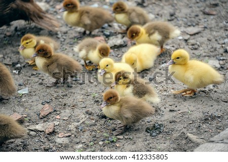 A flock of little ducklings - stock photo