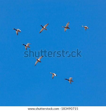 A flock of migratory ducks on background blue sky. - stock photo