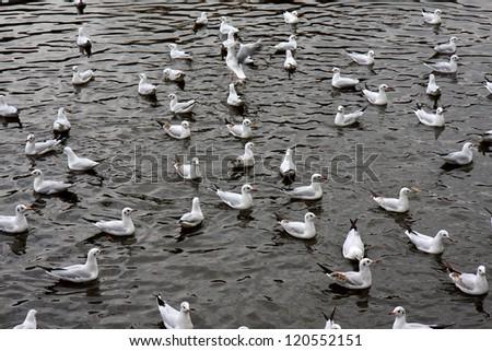 A flock of migratory seagulls floating in the lake of Cuihu Park in Kunming, Yunnan Province of China.
