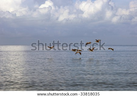 a flock of pelicans flying low over the water in the gulf of mexico. - stock photo