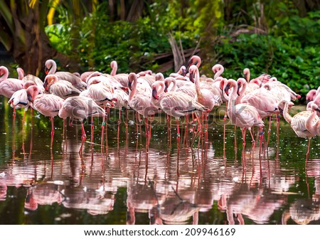 A flock of pink flamingos and reflection in the water. - stock photo