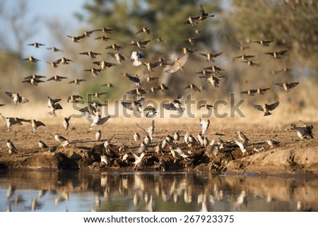 A flock of red-billed queleas taking flight from a waterhole in Mashatu, Botswana. - stock photo