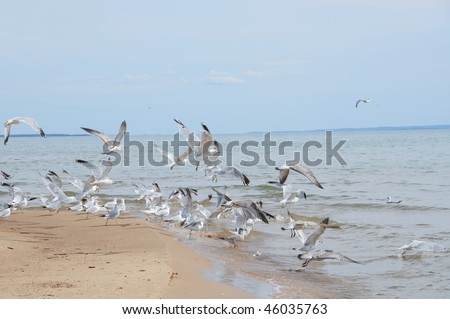 A flock of seagulls flying into the water at Lake Michigan in the Upper Peninsula.