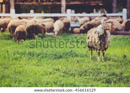 A flock of sheep grazes on a green field somewhere in thailand in vintage tone - stock photo