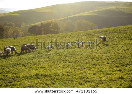 A flock of sheep grazing on the hills of Tuscany. Italy.