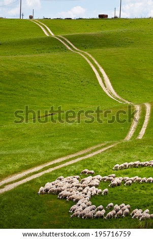 a flock of sheep grazing on the Tuscany hill