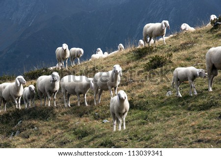 A flock of sheep in Alps mountains - stock photo