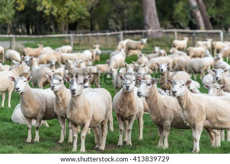 A flock of sheep in farmland - stock photo